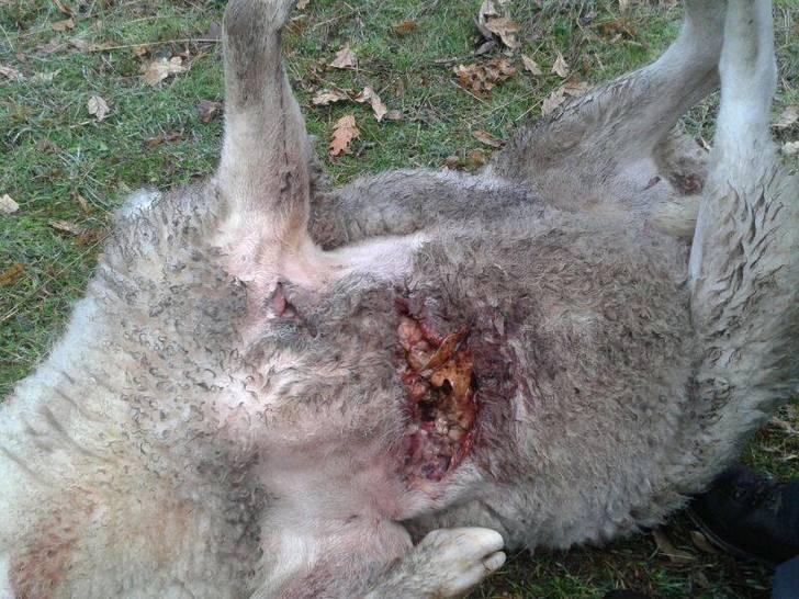 Los ganaderos de la Sierra Norte piden ayuda a Page por los ataques de lobo