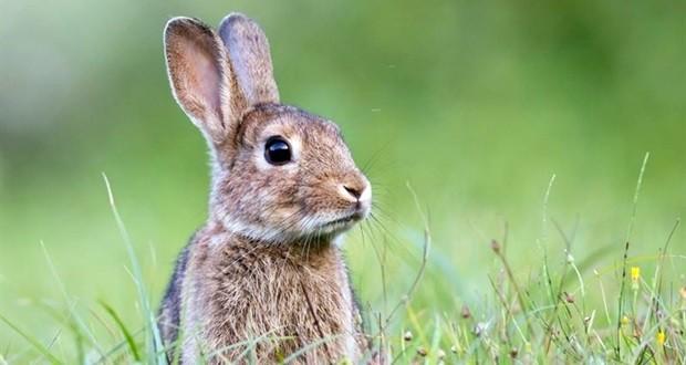 """Asaja pide al Gobierno regional que actúe """"con urgencia"""" contra la plaga de conejos"""