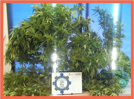 Un aloverano cultivaba plantas de marihuana que se veían desde la calle