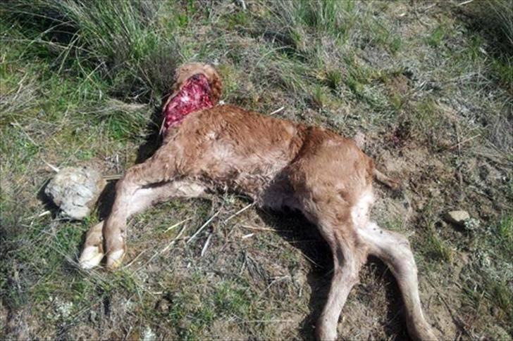 Los ganaderos de la Sierra Norte, impotentes ante los continuos ataques de lobos