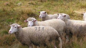 Detienen a un hombre en Castilla-La Mancha por robar 237 ovejas