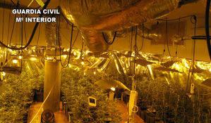 Se incautan 773 plantas de marihuana en una urbanización de Chiloeches