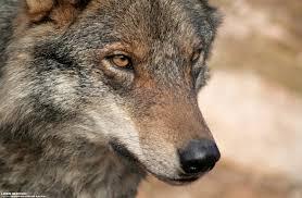 El campus de Guadalajara acogerá una jornada sobre Conservación del Lobo Ibérico