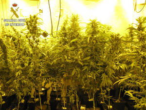 Dos detenidos por cultivar 547 plantas de marihuana en un chalet de Torrejón de Rey