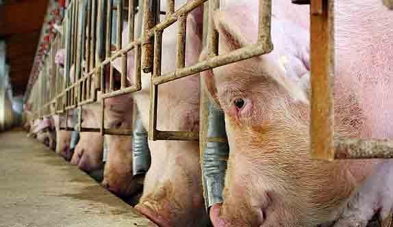 Recogen 1.600 firmas contra una granja de porcino en Guadalajara, cuyo promotor es hijo de la alcaldesa