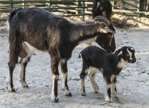 Alegría en el zoo de Guadalajara por el nacimiento de una cabra de Guadarrama, en peligro de extinción