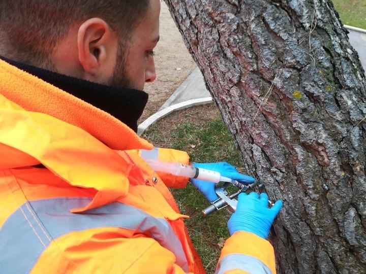 El ayuntamiento trata a más de 1.000 pinos de la ciudad de Guadalajara con endoterapia para reducir la procesionaria