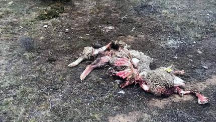 Publicadas las ayudas para ganaderos de extensivo en CLM para paliar los posibles daños por ataques de buitre o lobo