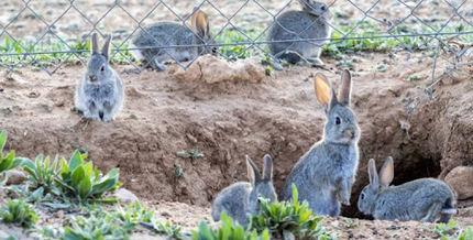 Veinte años denunciando los daños del conejo en la agricultura