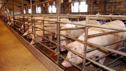 Desestimada la ejecución de una macrogranja de cerdos en el entorno del parque de Segóbriga