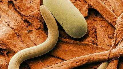 Resucitan unos gusanos congelados en Siberia desde hace 40.000 años
