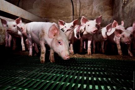 Luz verde ambiental para una macrogranja para 2.000 cerdos en el término de Luzón