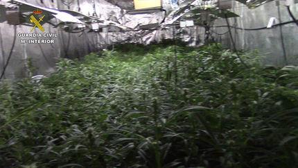 La Guardia Civil desmantela una plantación de marihuana en Loranca de Tajuña